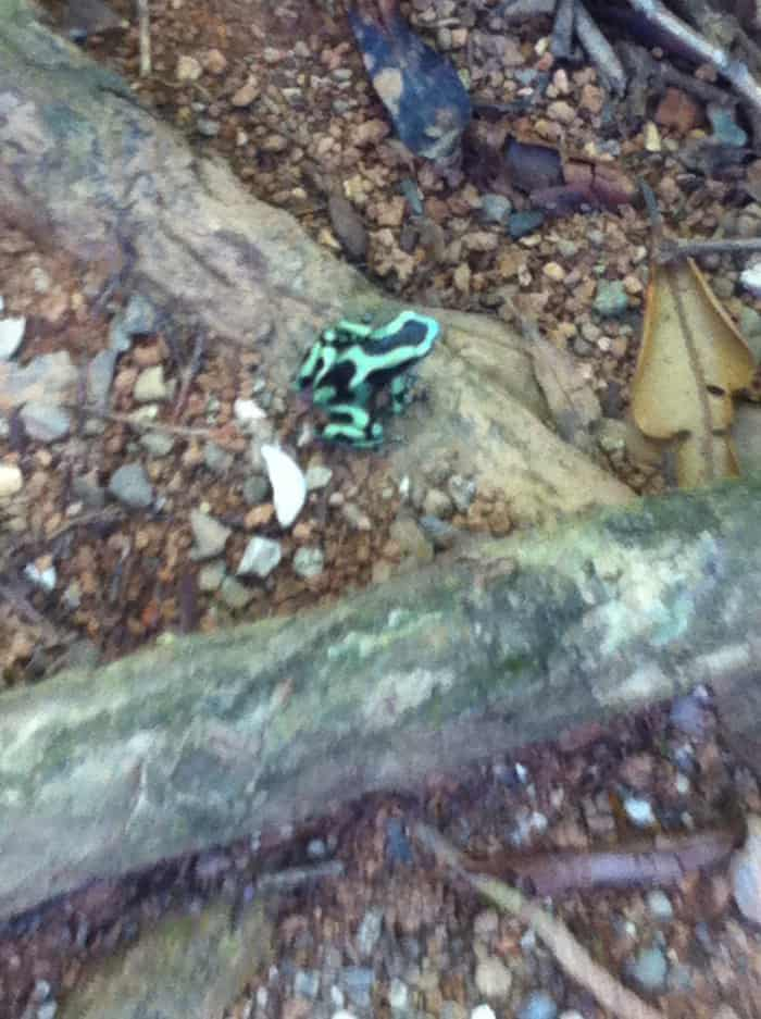 Green and black poison-dart frog.