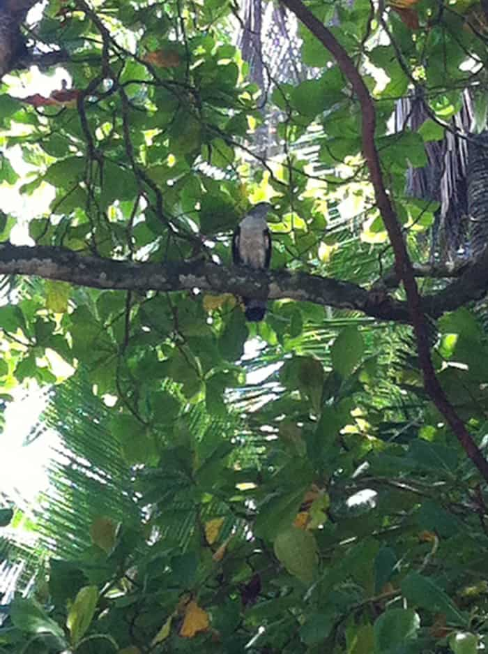 A white hawk in a tree at Playa Uvita.