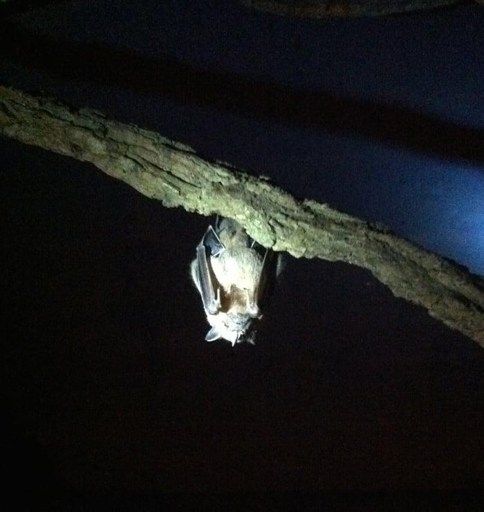 One of the 90 inhabitants of the live bat exhibit.
