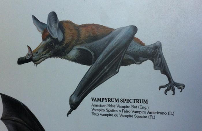 American false vampire bat.