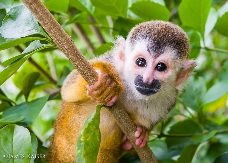 Young titi monkey.