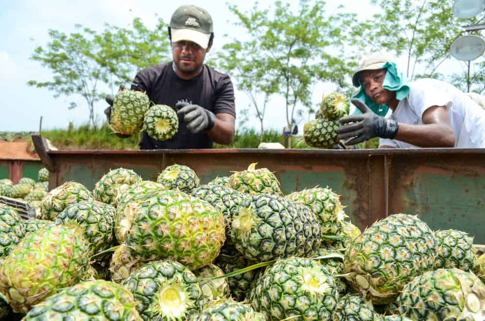 Workers fill a cart with pineapples before it is loaded into a trailer in northern Alajuela province, April 29, 2015.