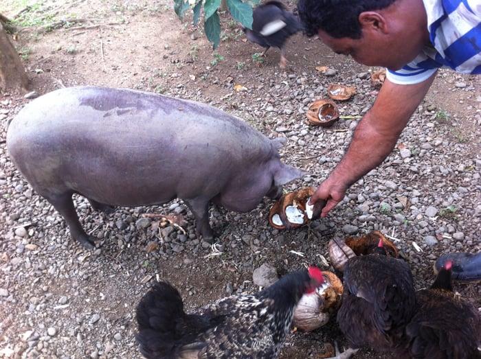 Bolincha the pig loves coconut.
