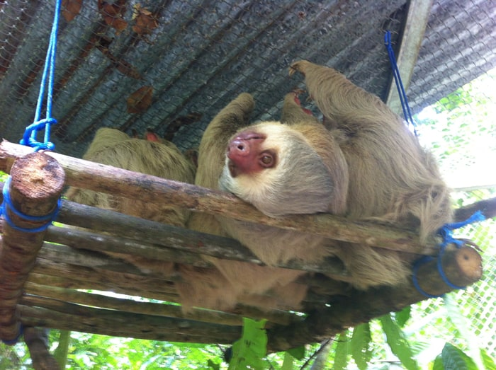 A two-toed sloth lies on its back awaiting treats.