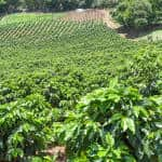 Costa Rica's best coffee comes from this hillside in Alajuela