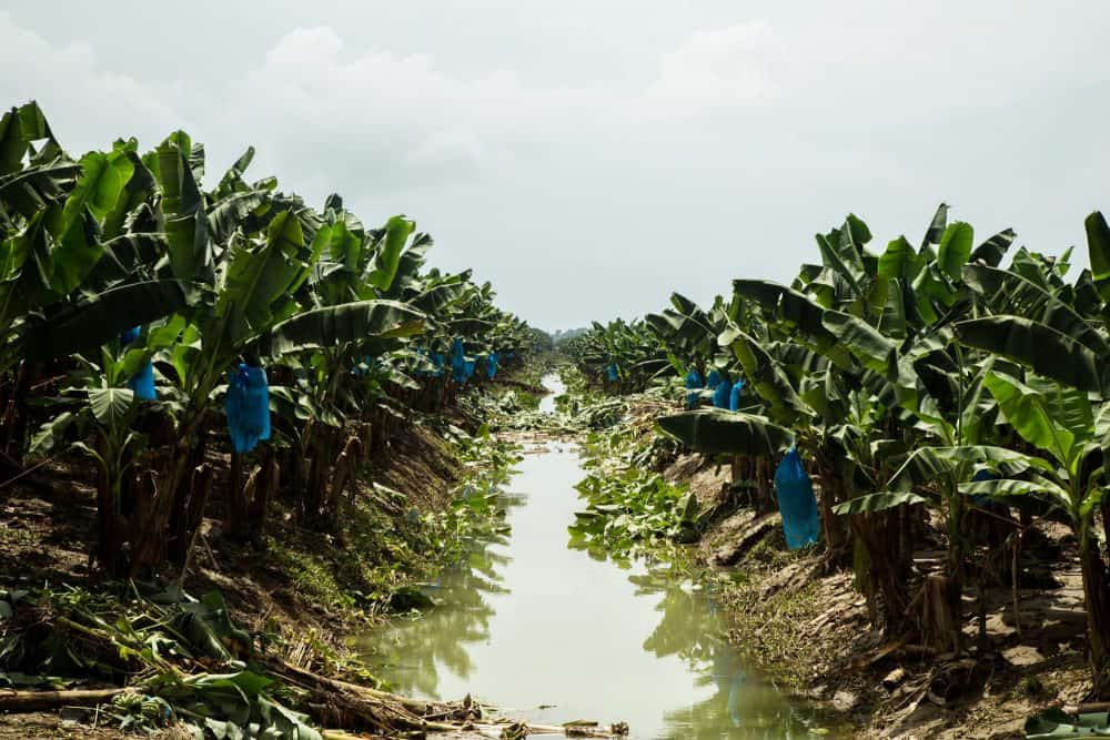 Flooded banana fields in Limón, on July 1, 2015.