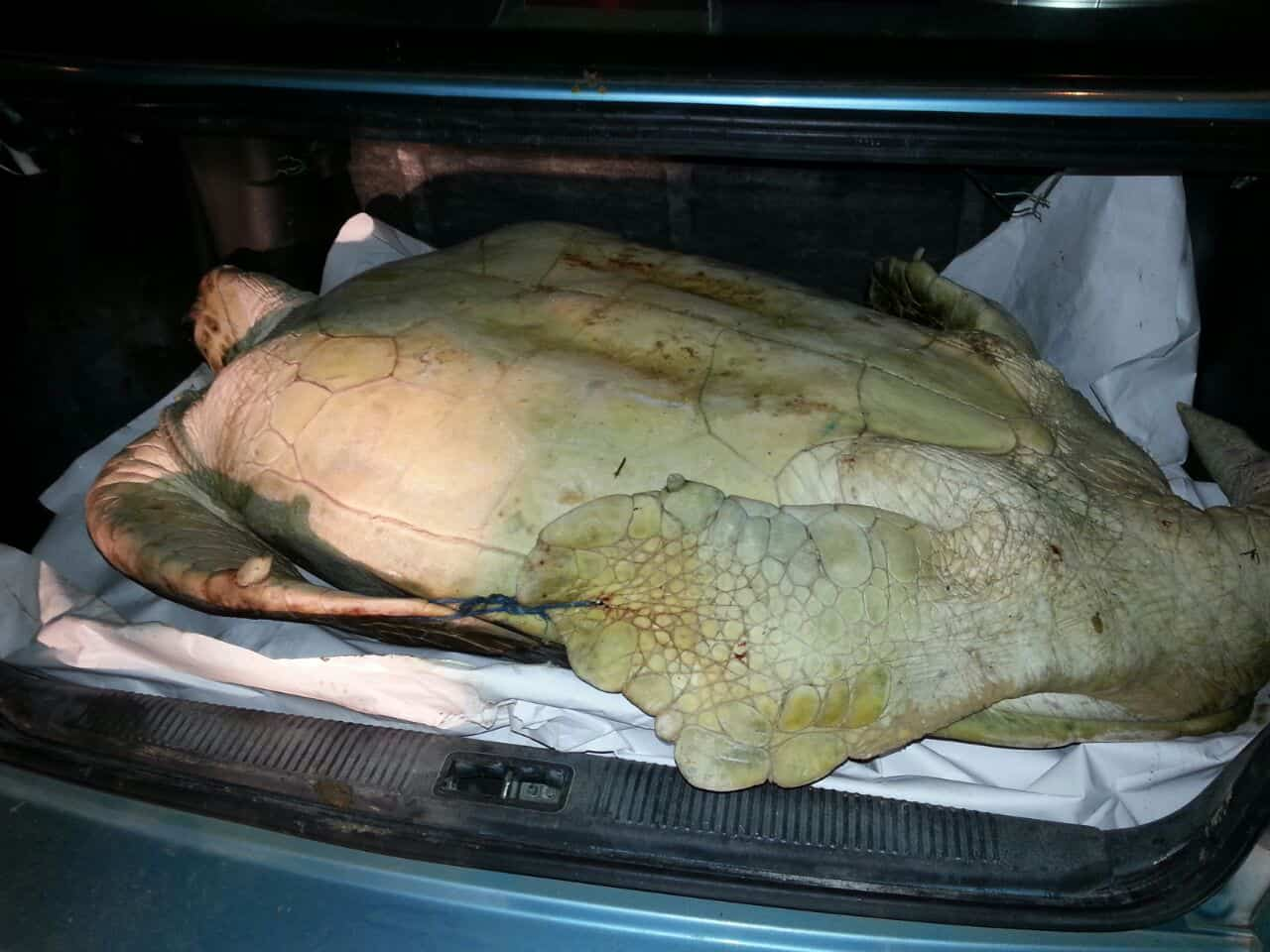 A 100-kg green sea turtle found tied in the trunk of a car in Limón on July 3, 2015.