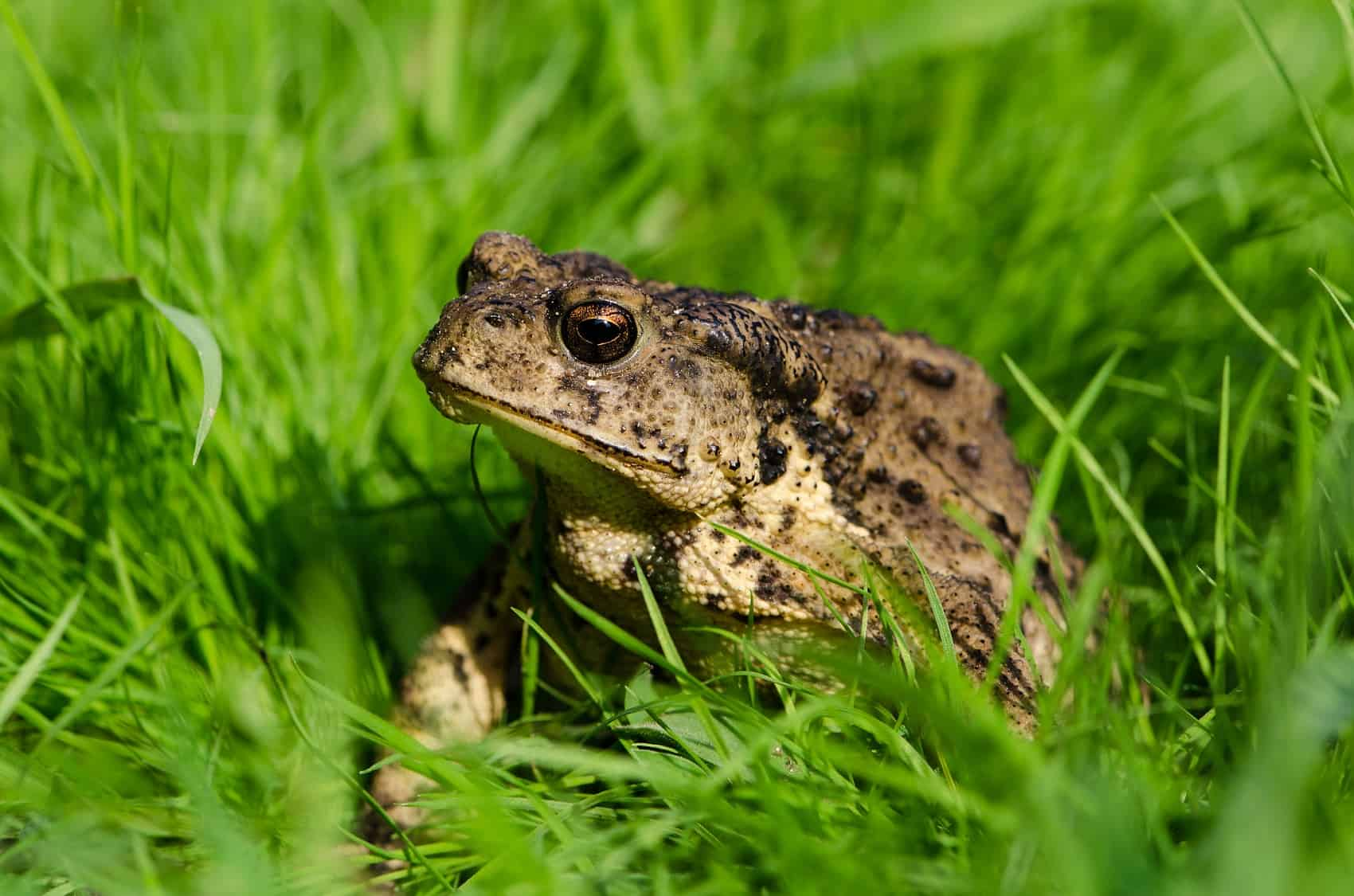 Toad in grass.