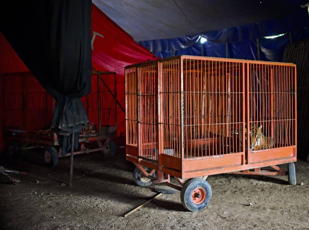"""A tiger is seen in a cage at the """"Hermanos Cedeño"""" circus in Chimalhuacán, Mexico, on July 7, 2015."""