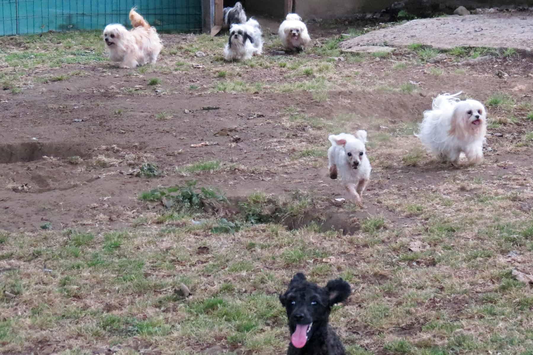 Puppy mill raid at Tres Ríos. April 17, 2015.