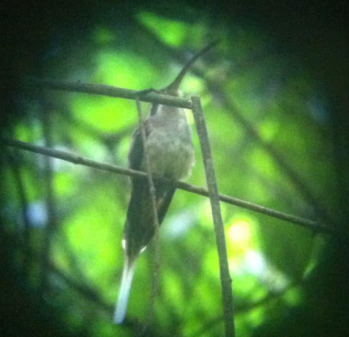 A long-billed hermit hummingbird.
