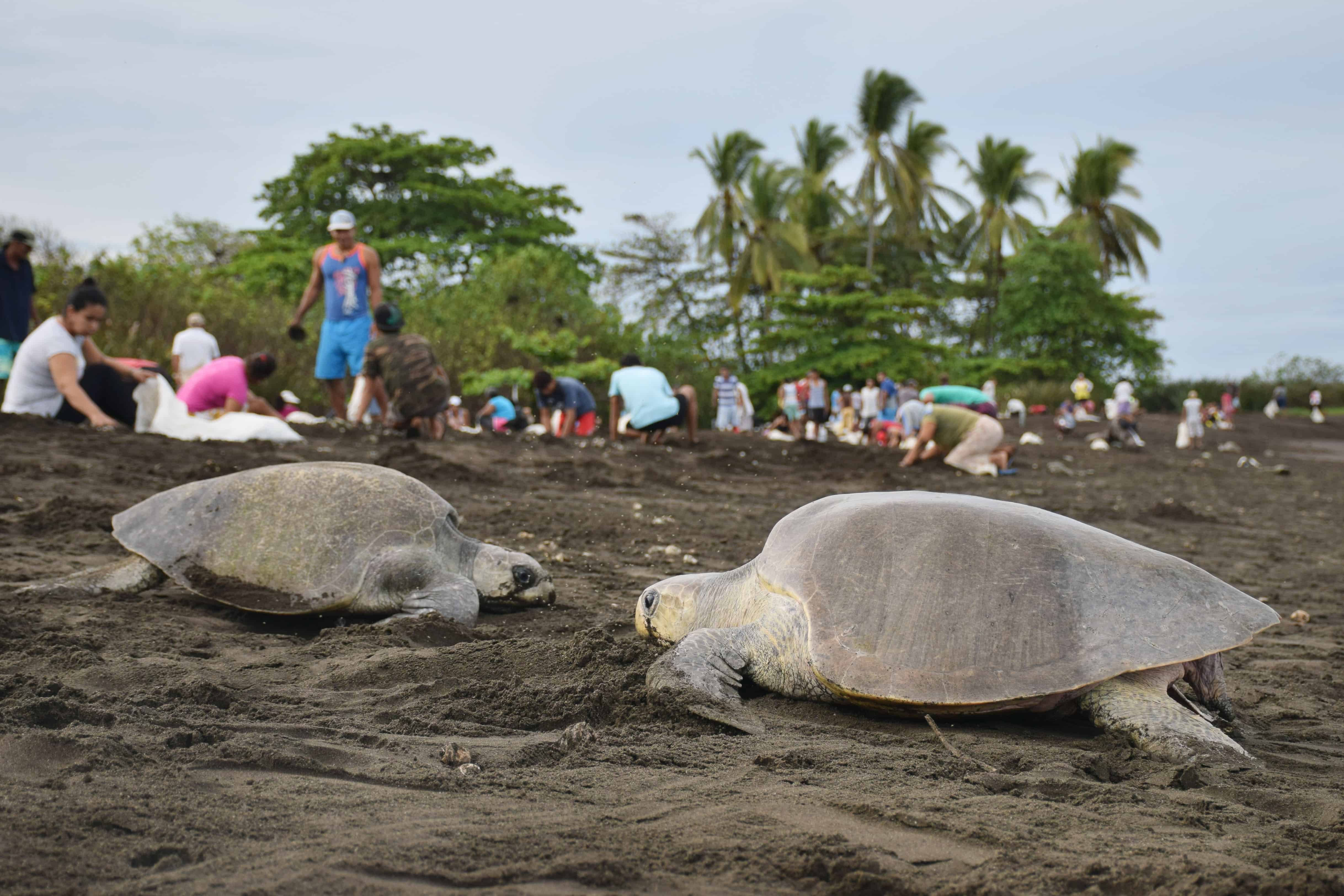 The last few turtles make their way on and off the beach at Ostional, Costa Rica.