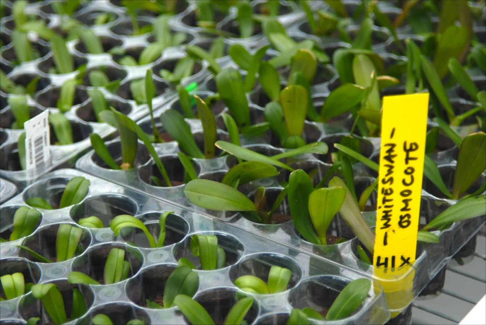 White swan orchid seedlings sprout in the Ter Laak greenhouse in Wateringen, Netherlands, 2015.