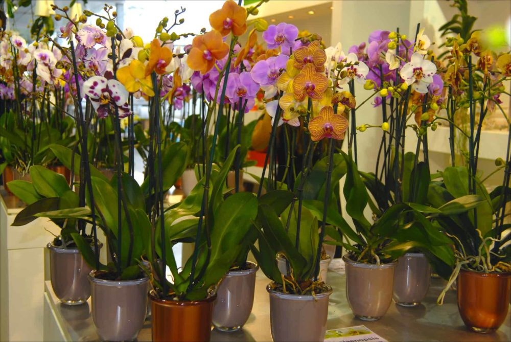 Orchids on display at Ter Laak Orchids in Wateringen, Netherlands.