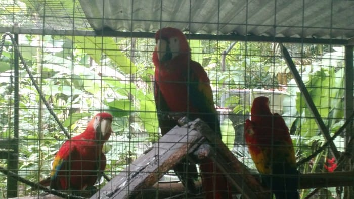 Macaws raised at Neo Fauna have to learn how to fly before they can be released into the wild.