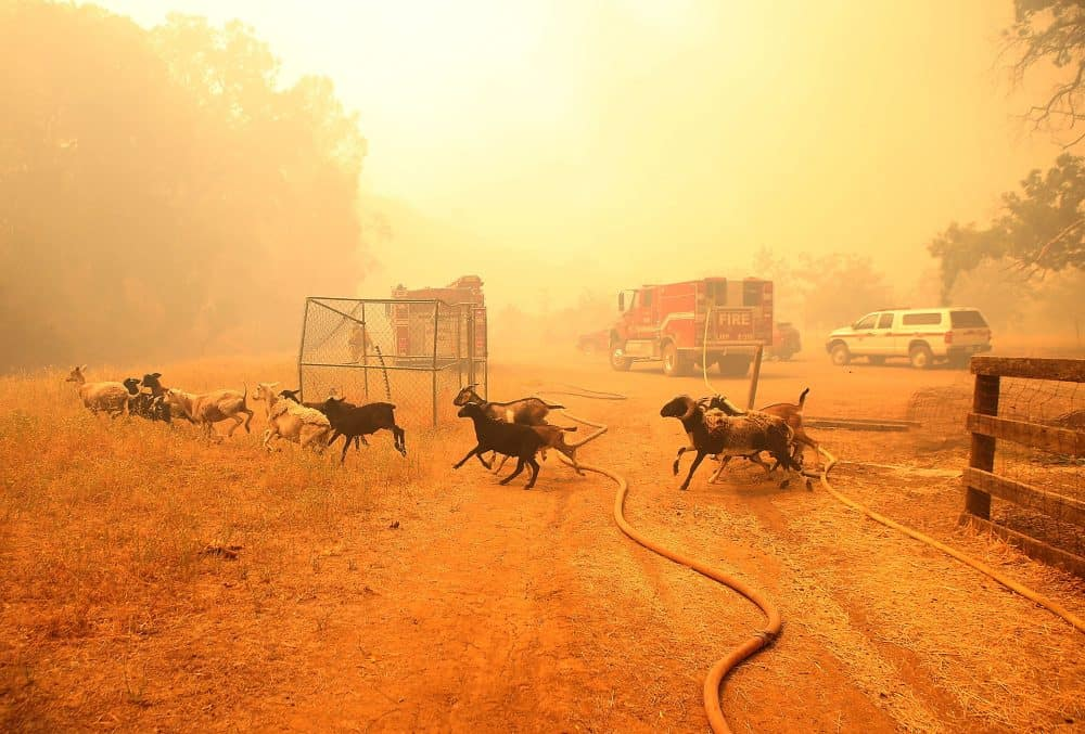 Goats run away from their pen after firefighters freed them as the Rocky Fire approaches.