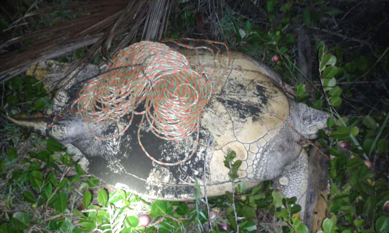 A green sea turtle found tied up on Moín Beach, north of Limón on the evening of Aug. 10, 2015.