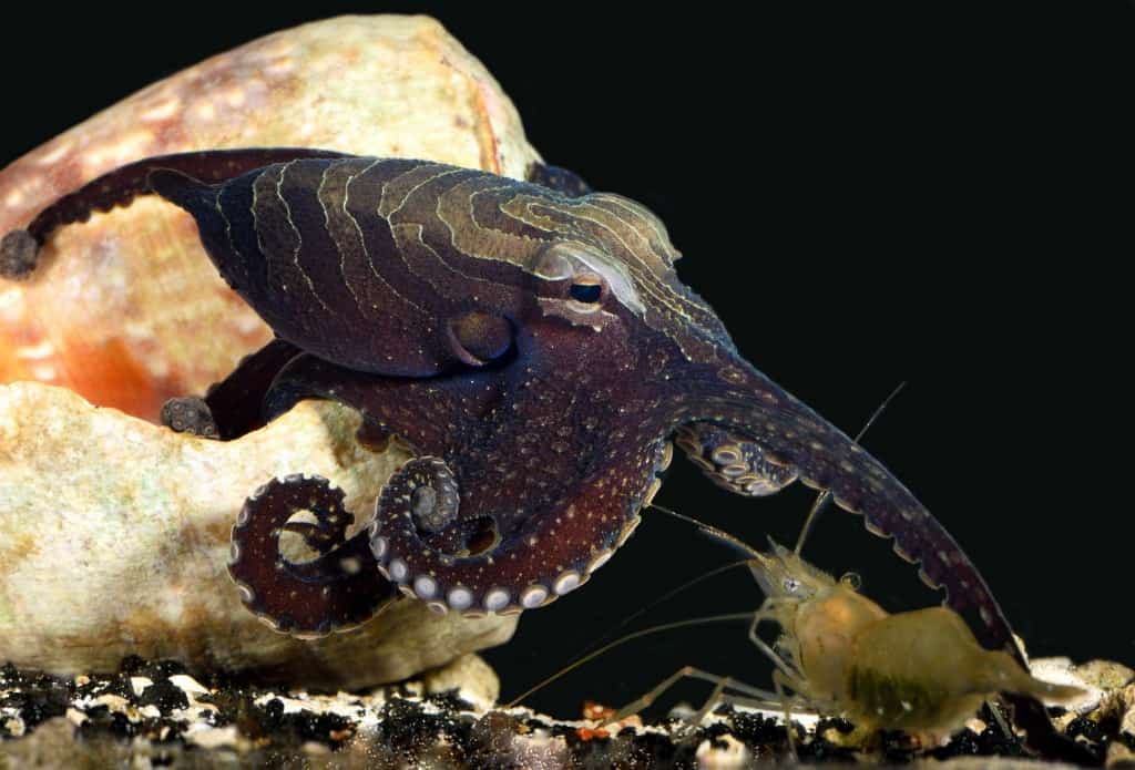 The larger Pacific striped octopus has a unique hunting and mating style, Aug. 12, 2015.