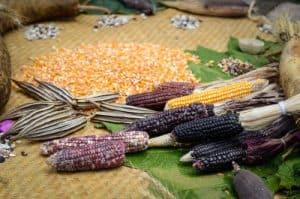 corn and corn kernels