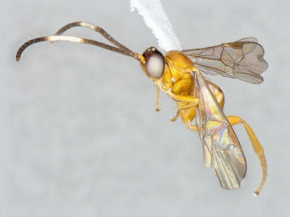 Photo of wasp species Pseudapanteles luisguillermosolisi