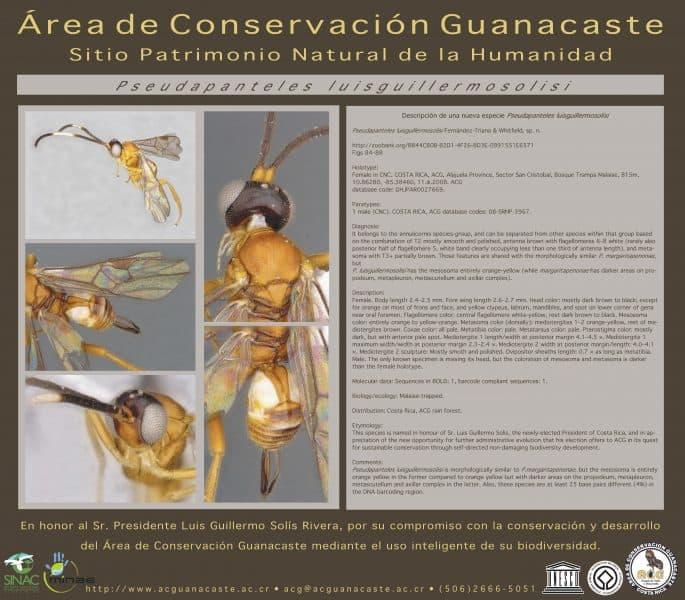 Photos and desctiption of Pseudapanteles luisguillermosolisi wasp