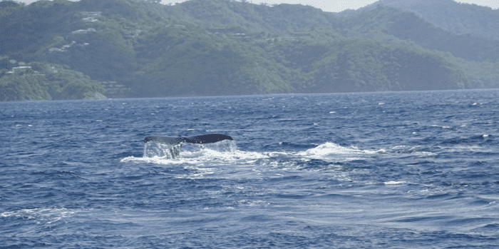 Humpback whale off Playas del Coco, Costa Rica.