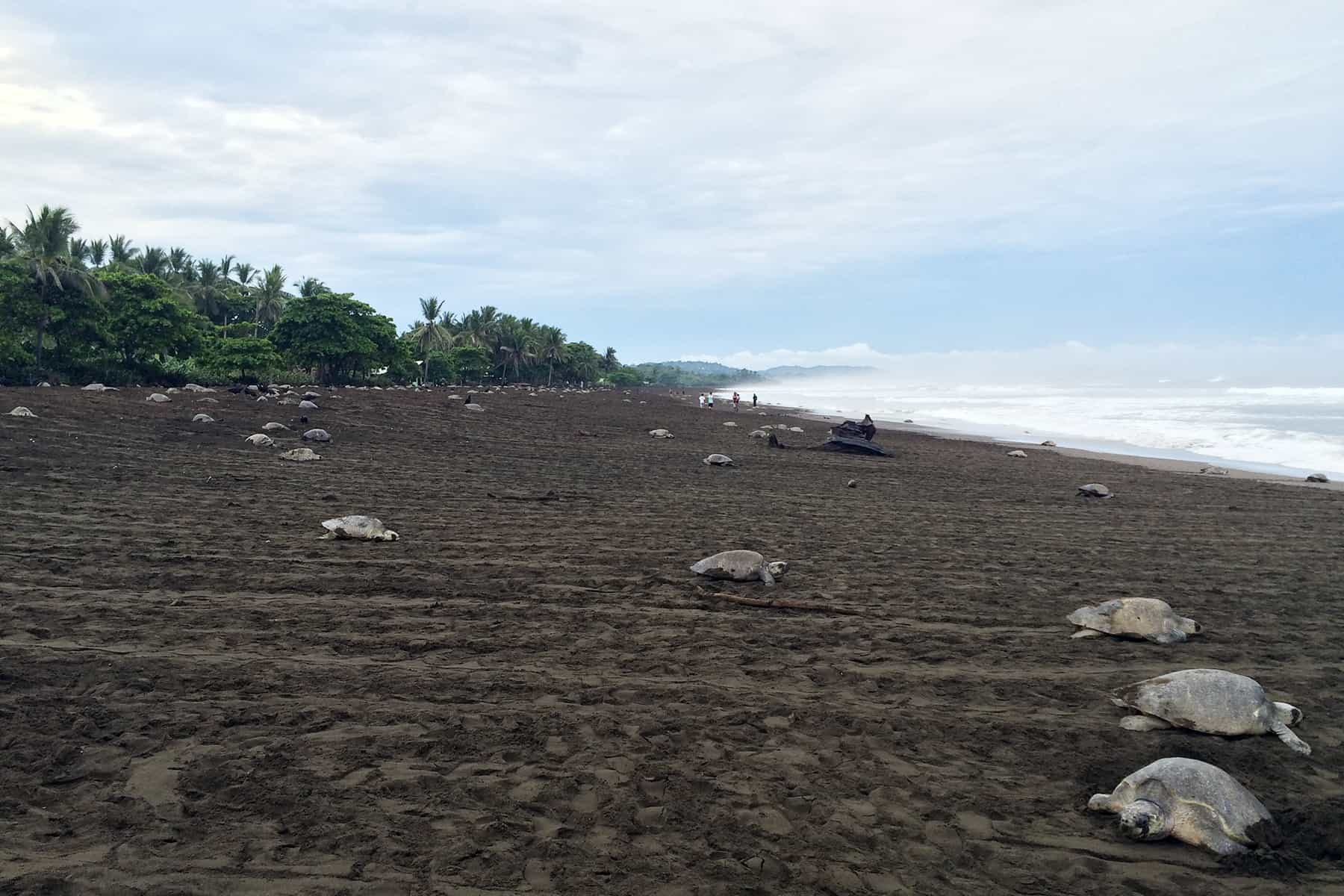 Olive Ridley Sea Turtles Find Mostly Empty E At Costa Rica S Ostional Beach In Guanacaste Province On Wednesday Sept 23 Courtesy Of Sinac