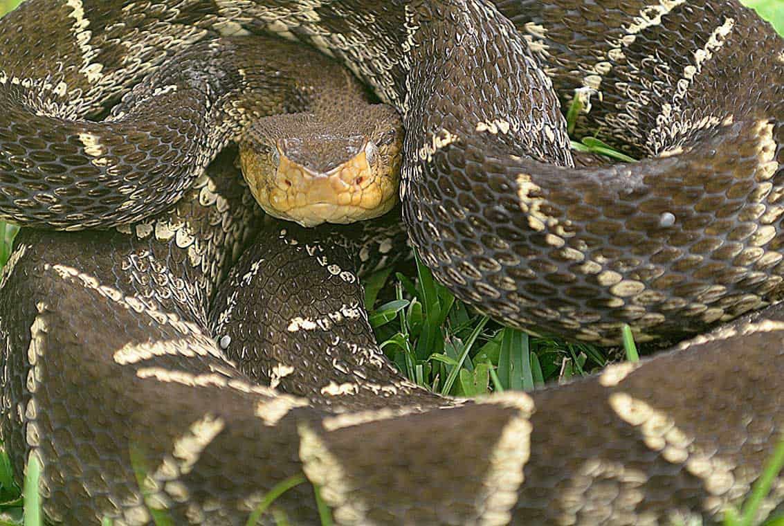 El Niño\'s deadly side effect: more snakebites – The Tico Times ...