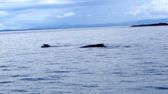 Sea Shepherd and humpback whales