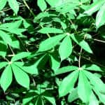 Cassava: tropical staple, drought-friendly... cancer-busting?