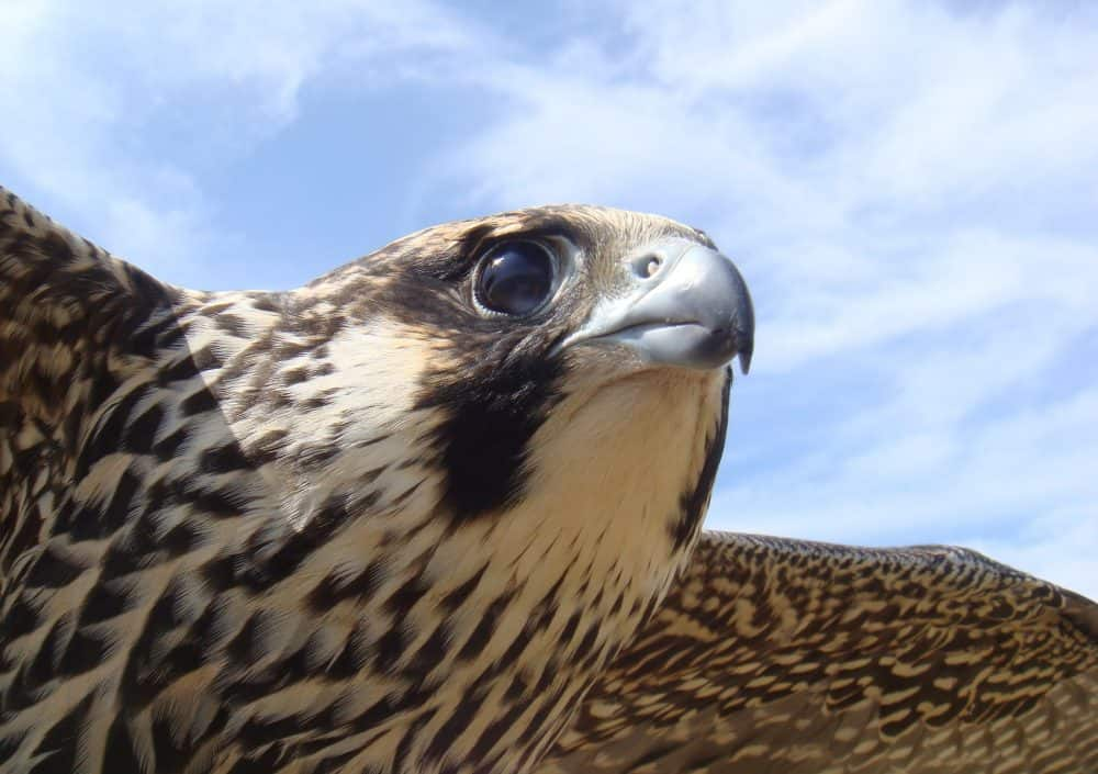 Close-up of Peregrine Falcon