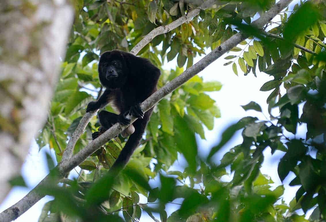 costa rica s howler monkeys are the least loud but most well endowed
