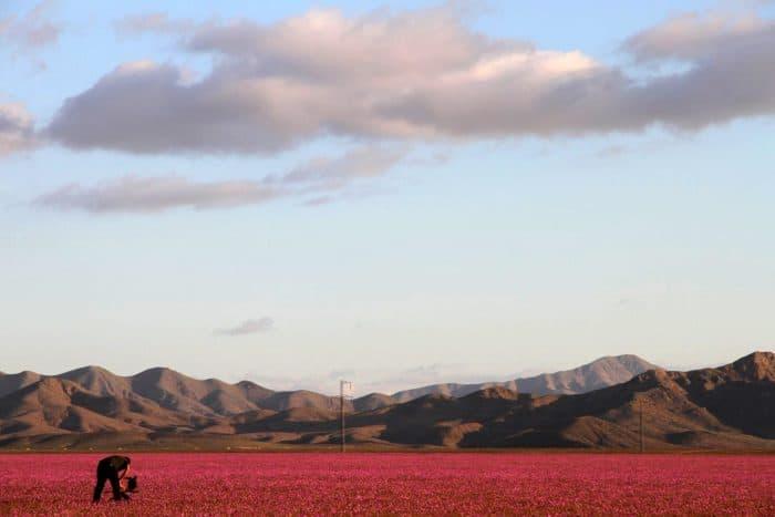 desert covered in flowers