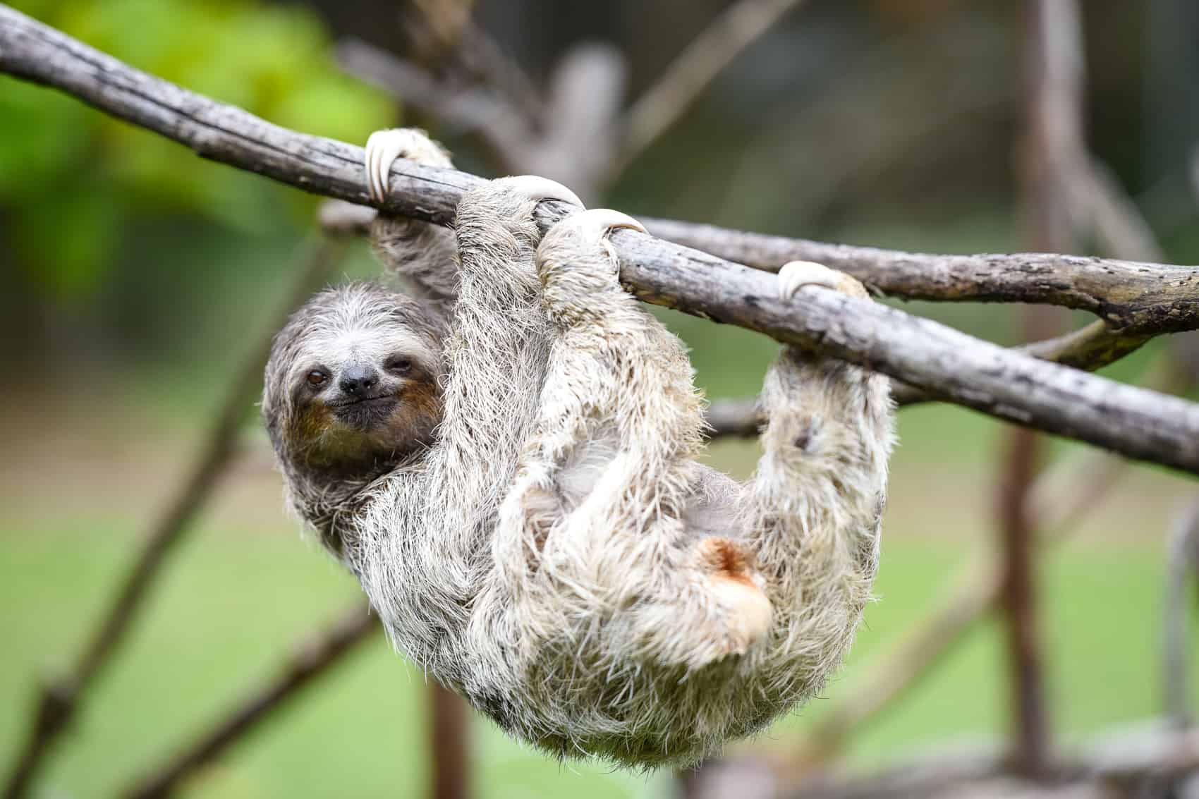11 little known sloth facts the tico times costa rica news
