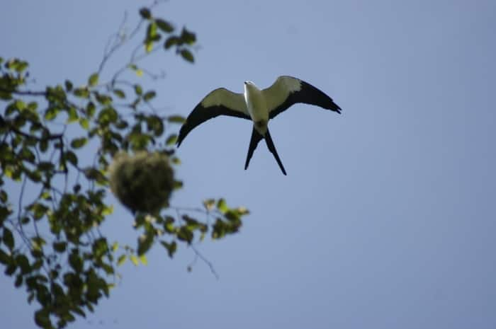 A Swallow-tailed Kite in flight