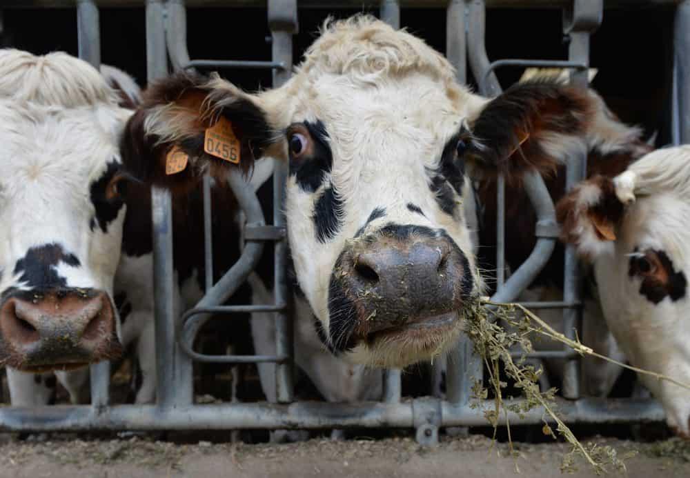 cows methane gas.