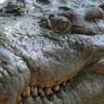 Starving crocodiles finally fed amid Honduras legal row