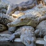 Honduras crocodiles starve after US freezes elite family's assets