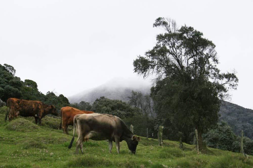 cow grazing near Turrialba Volcano