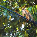 Costa Rica utility company helps protect wildlife along 250 km of power lines