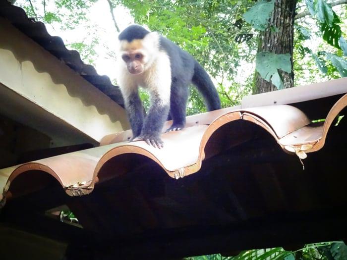 Monkey see food.