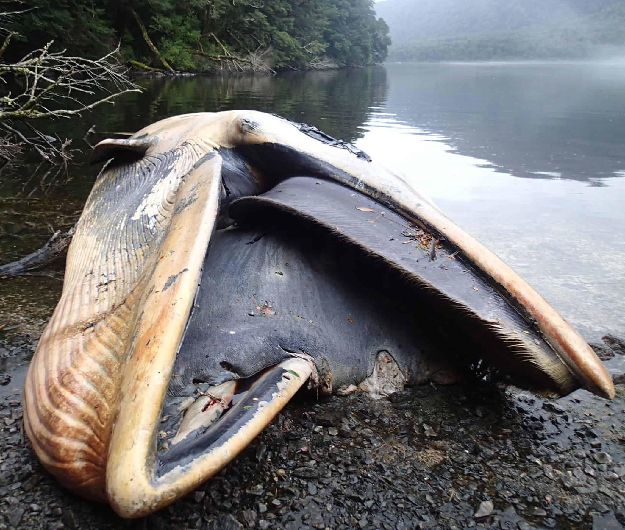 dead sei whale