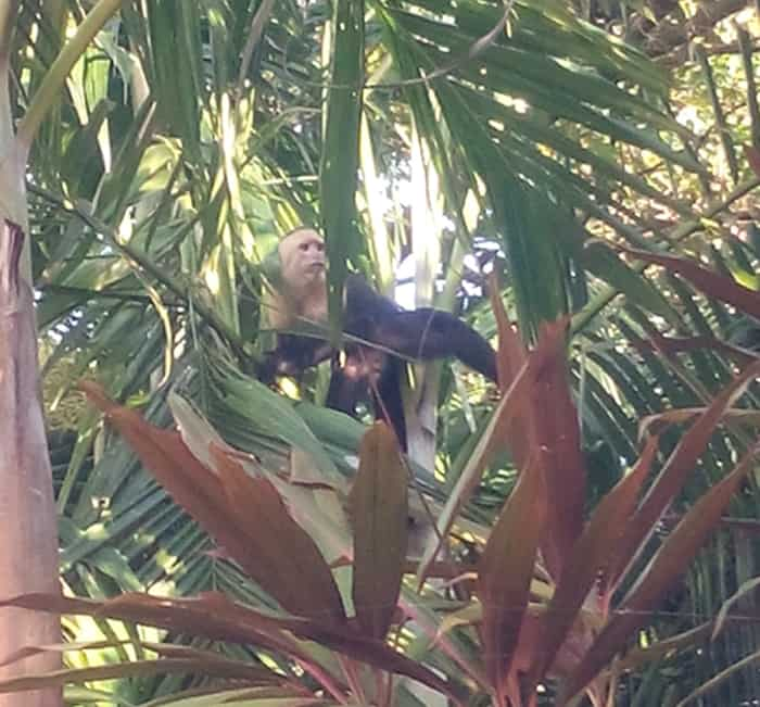 A white-faced monkey at Pacific Edge.