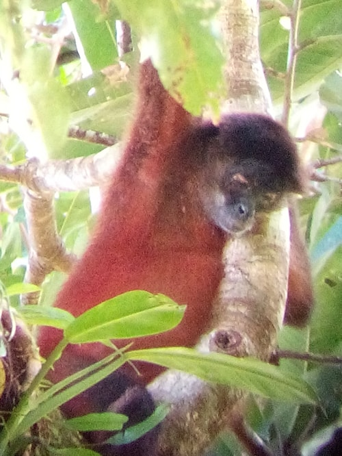 A spider monkey takes a nap in the trees.