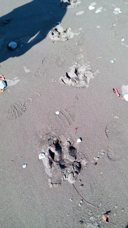 Here they be danta: Tapir tracks on the beach.