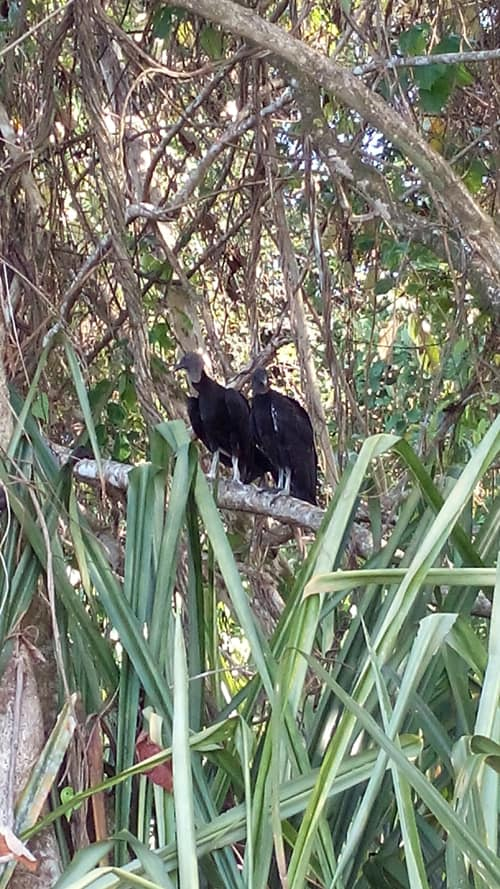 A couple of vultures take a break on a branch.