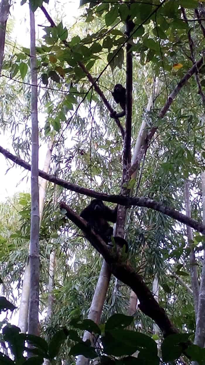 Howler monkey mom and juvenile.