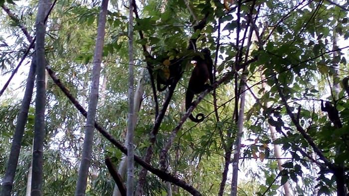Howler monkeys.