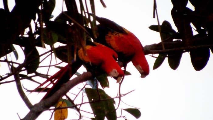 Scarlet macaws.
