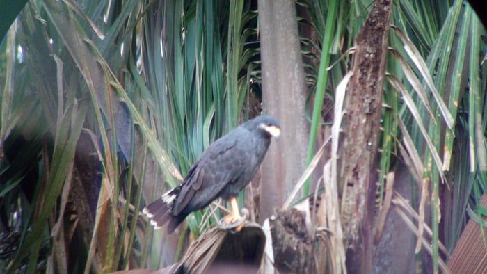 Mangrove black hawk.